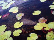 picture of lilly pads and bryozoan colony