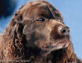 Chocolate brown head of the water spaniel