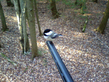 A chickadee perched on the tip of a rifle