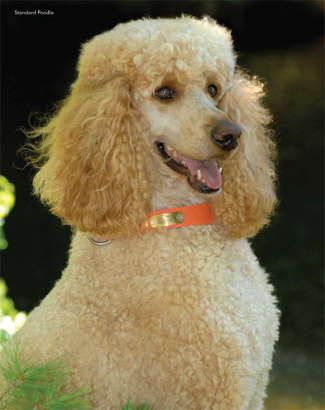 A blonde -colored standard poodle