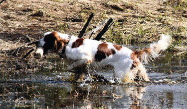 A red and white setter coming out of the water