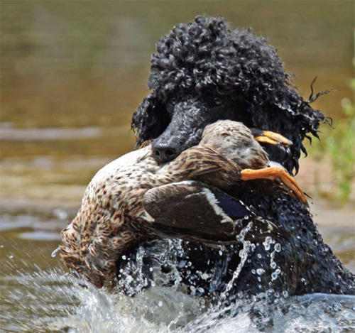 A standard poodle retrieves a duck from the water
