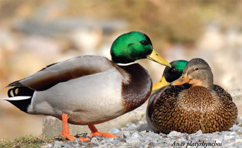 Drake (male) and hen (female) mallards