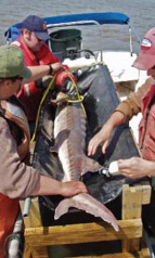 Researchers with a tagged sturgeon