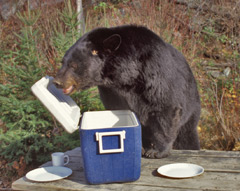 A bear at a picnic table looking in a cooler