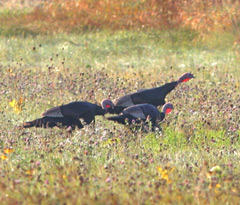 Three turkeys walking in tall grass in fall
