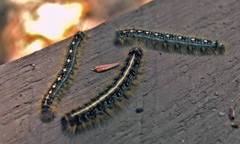 One eastern and two forest tent caterpillars