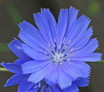 Close-up of a blue chicory flower
