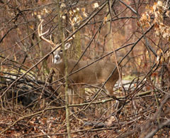 A large buck in the woods seen through twigs