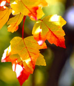 Red and yellow leaves in dappled sunlight