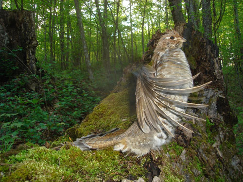A ruffed grouse beats its wings in the air just off the forest floor