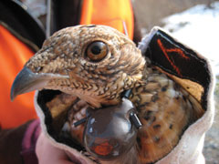The head of a ruffed grouse with a radio-transmitter around its neck