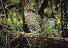 A ruffed grouse standing on a log in the forest