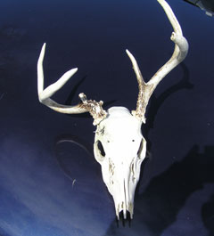 Front view of a deer skull with a misformed antler
