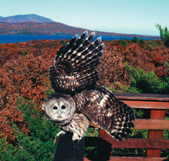 A barred owl landing on a railing with fall foliage, water and a mountain in the background