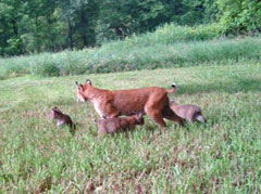 A bobcat with three cubs in a field