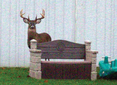 A large buck standing behind a bench at a schoolyard