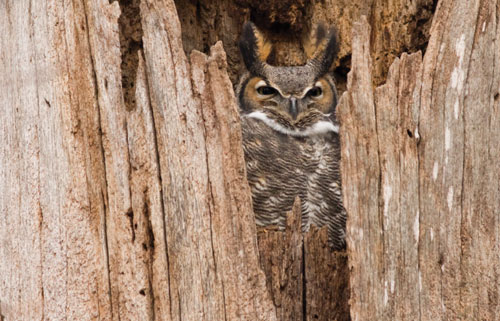A great horned owl peers from a gap in a wood fence