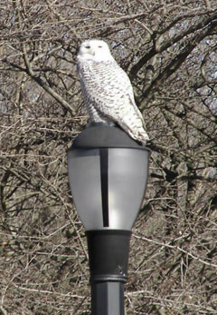 A snowy owl sitting on top of a light post