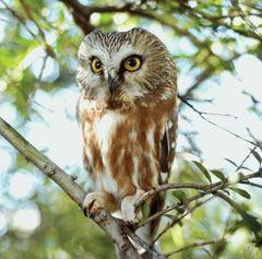 A saw-whet owl sitting on a tree branch