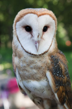 The head and upper body of a Barn owl
