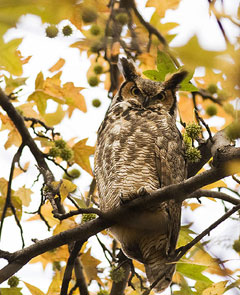 A Great horned owl looking down from a branch in a tree