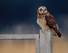 A short-eared owl sitting on a fence post