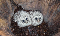 Two young barred owls look up from inside a tree cavity