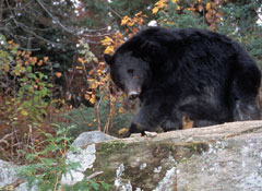 A black bear on a rock