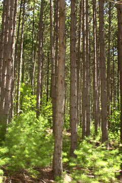 A forest of tall pines with young pines in the understory