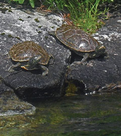 Two turtles on rocks near the water
