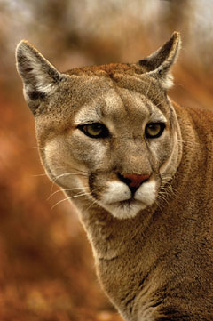 The head and shoulders of a mountain lion