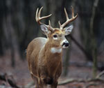 A male deer standing in the forest