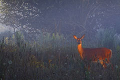 A deer in the early morning light