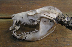 An animal skull with the skull of a smaller animal in its jaws