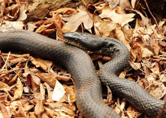 A ratsnake on a bed of dry leaves