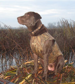 A bird dog in a hunting vest sitting near a wetland