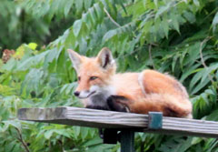 A red fox sitting on a deck railing