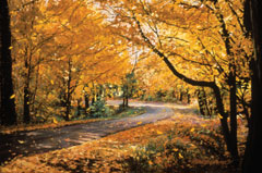 A pastel painting of a road curving between trees in yellow fall foliage