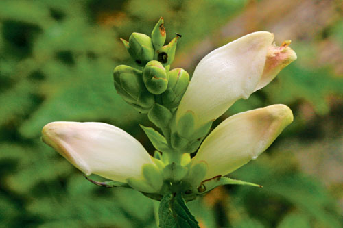 The white flowers of the turtlehead