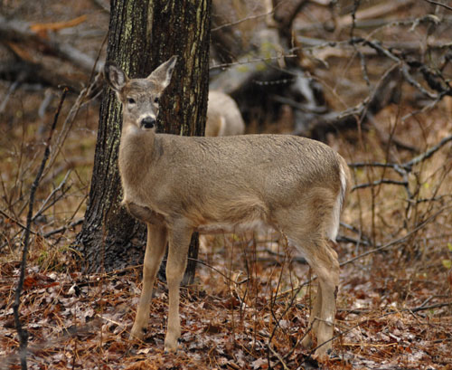 A doe standing near a tree in the woods