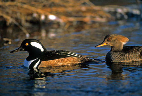 A male and a female hooded merganser on a pond