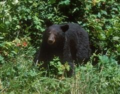 A black bear in the wild