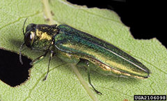An adult emerald ash borer on a leaf