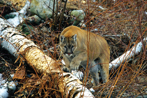 A cougar in the woods walks over a fallen tree trunk