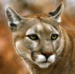 The head of a cougar