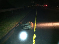 A dead cougara by the side of a highway at night