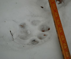A cougar track in the snow with ruler for scale