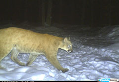 A cougar walking in the snow at night