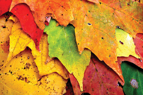 Colorful autumn leaves in close-up